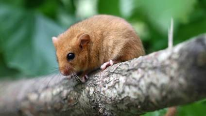 Dormouse sitting on a branch at the Wildwood Trust near Canterbury